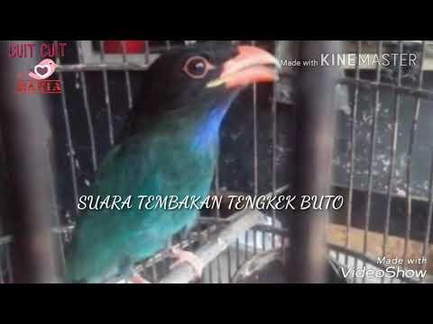 Masteran suara tembakan tengkek buto ( Eurystomus orientalis ) (dollarbird sound)
