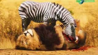 Zebra Kill And Eat Lion