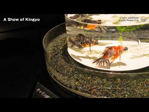 Kyoto Photo Trip to Art Aquarium Castle  - Kyoto goldfish of dance -