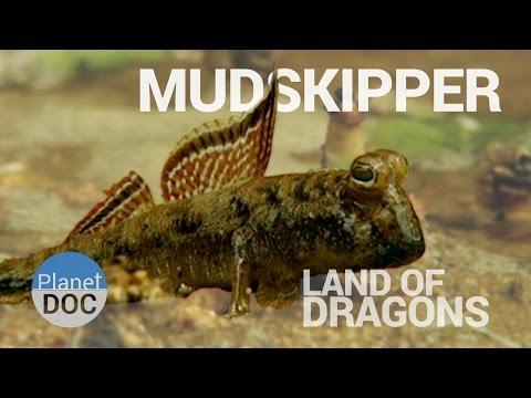 Mudskipper. Land of Dragons | Nature - Planet Doc Full Documentaries