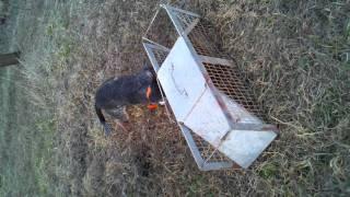 Coon Dog Training #3