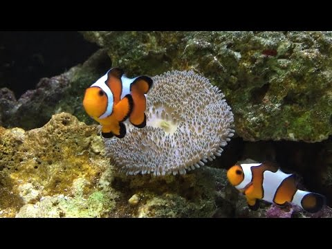 Carpet Anemone Eating And Clown Fish Helping. It Almost Ate Our Fish!