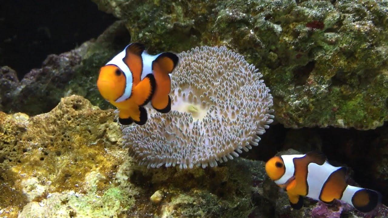 Carpet Anemone Eat Clownfish - Carpet Vidalondon