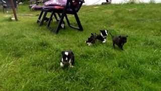 Staffordshire Bullterrier Puppies [thernastaffs.nl]