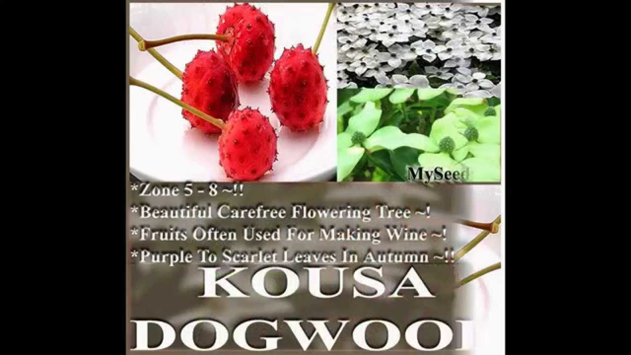 how to grow kousa dogwood from seed