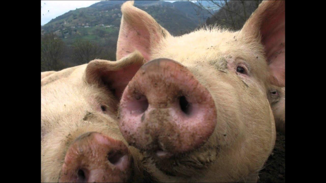 Quand on as tu le cochon youtube - Queue de cochon outil ...