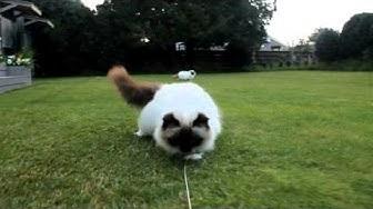 crazy fluffy birman cats