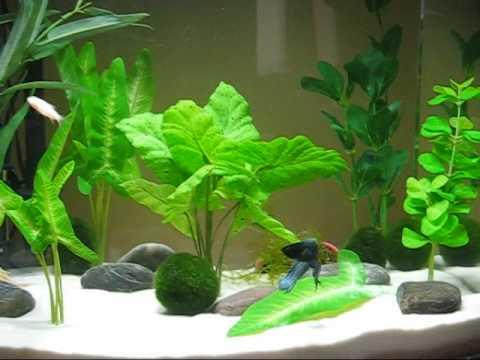 Comrad the papa betta fish his albino cory babies 12 for Eclipse fish tank