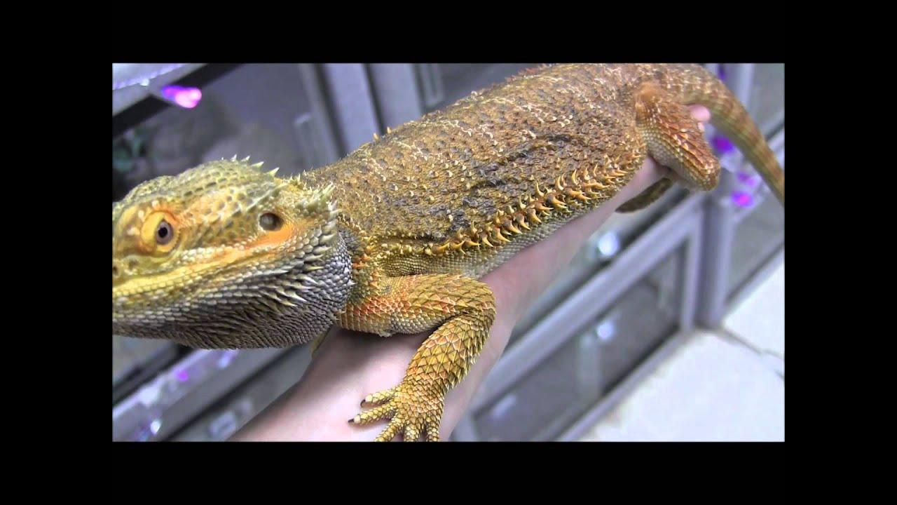 Adult Male Orange Bearded Dragon - YouTube