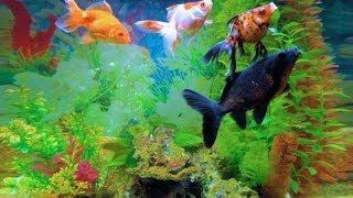Девять золотых рыбок