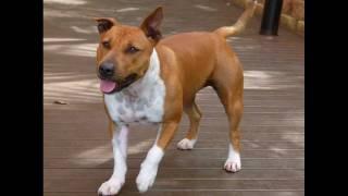 Our Staffy X Bull Terrier, Jaffa