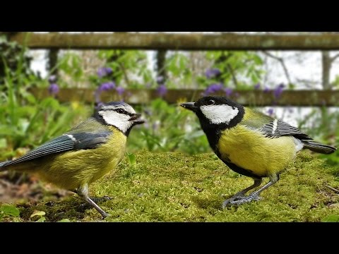 Videos for Cats to Watch : Spring Morning Birds and Bird Song