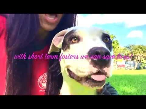 Happy foster adoption new family video. Pit bulls, Palm Beach County Animal Care & Control