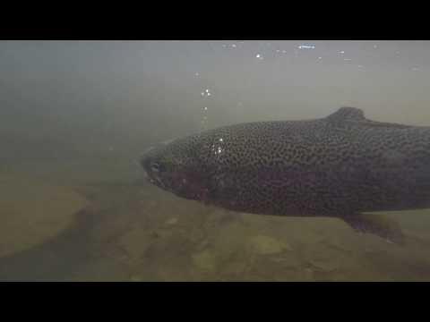 Insane Rainbow Trout Fishing,  South East Pennsylvania- 4K