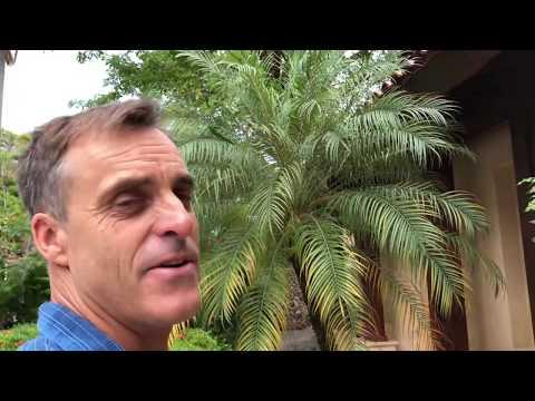 The Pygmy Palm