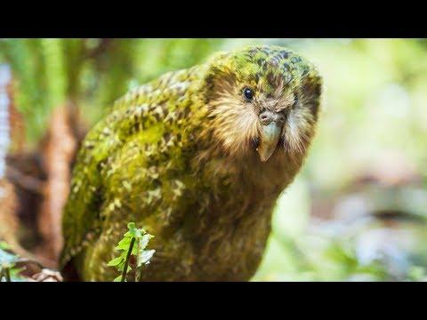 Kakapo : le perroquet-hibou improbable - ZAPPING SAUVAGE