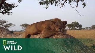Drzewa to idealne miejsce na odpoczynek dla...lwów!  [Lwy w koronach drzew]