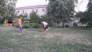 Дрессировка собак, ЗКС, злоба немецкой овчарки