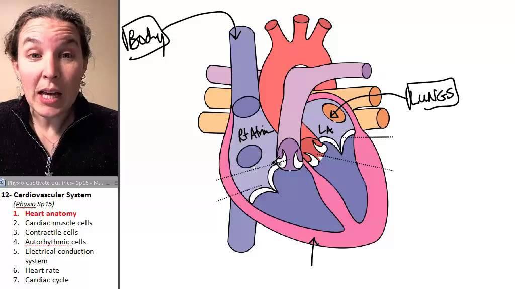 Cardiac Muscle 1- Heart anatomy - YouTube