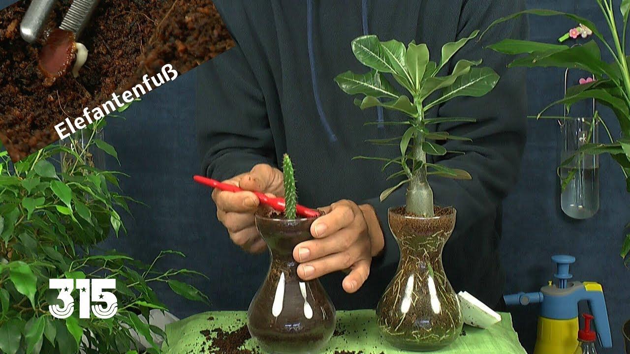 Im reich der zimmerpflanzen anzucht und vermehrung for Zimmerpflanzen umpflanzen
