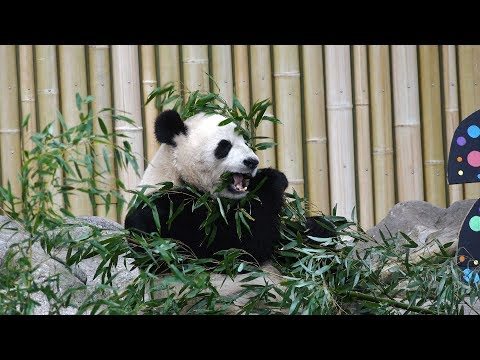 NewCa.com: 2017 Toronto Zoo. Giant Pandas' Second Birthday
