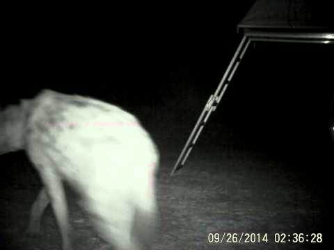 Trail camera: hyena and lions in Africa