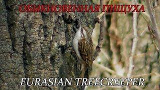 Обыкновенная Пищуха, Eurasian treecreeper, Certhia familiaris