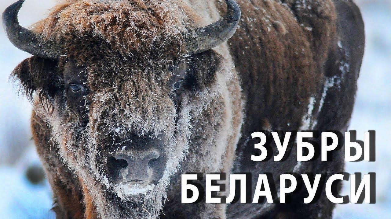 Зубры Беларуси. Полнометражный научно-популярный фильм.