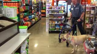 Class 1. Training dog not to pull on leash with owner on walker.