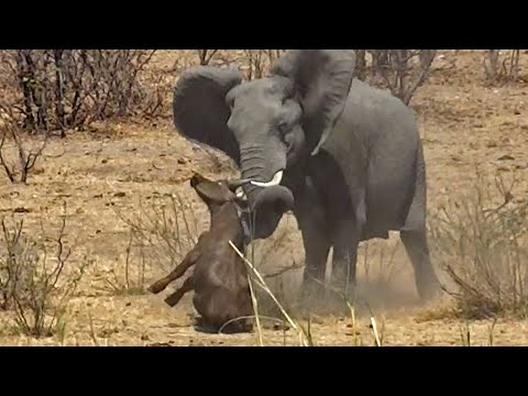 Thumbnail: Elephant Stabs and Kills Buffalo