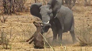 Elephant Stabs and Kills Buffalo