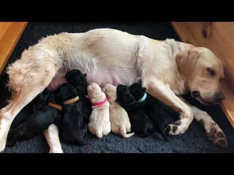 Rosey Newborn British Labrador...