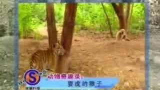 Monkey vs Tiger