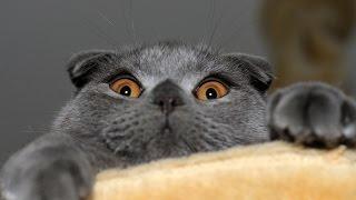 Шотландская Вислоухая кошка играет, Шотландская порода кошек