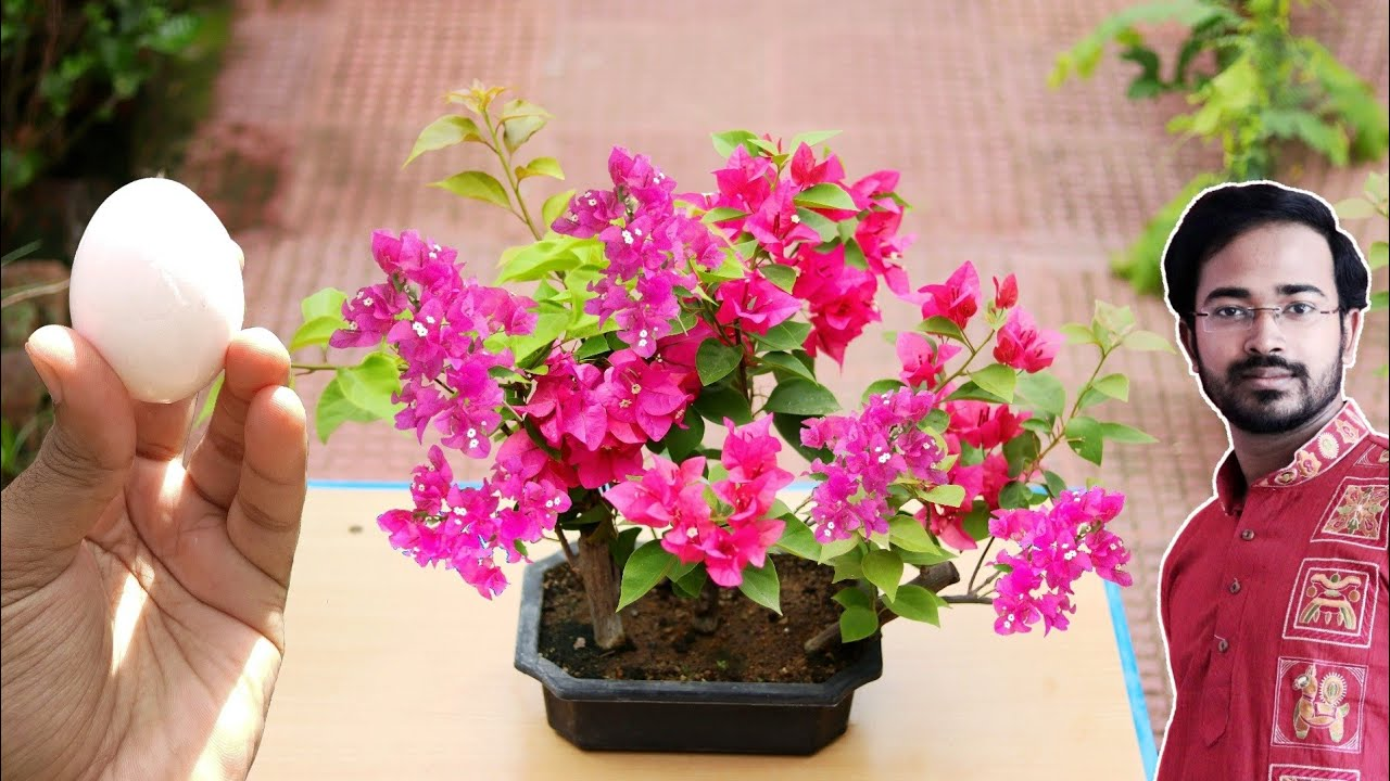 How to Easily make Bonsai Forest | Bougainvillea flower Bonsai for beginners