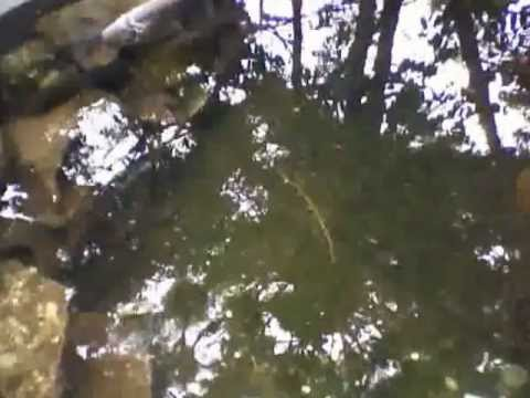 Estanque de mojarra tilapia youtube for Estanques de mojarra tilapia