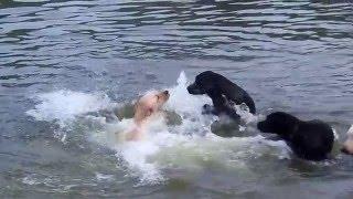 Labrador Retrievers .......a Short Film By Panzertoo