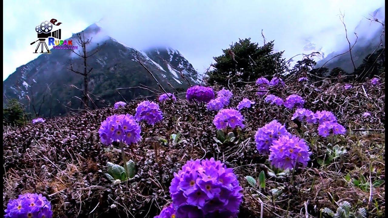 Wild flowers in north sikkim yumthang valley of flowers the wild flowers in north sikkim yumthang valley of flowers the land of most beautiful flowers izmirmasajfo
