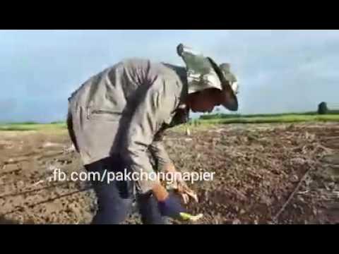 Pakchong1 Super Napier Grass Planting Under Drip Irrigation