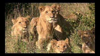 Tracking the KAMBULA PRIDE of LIONS