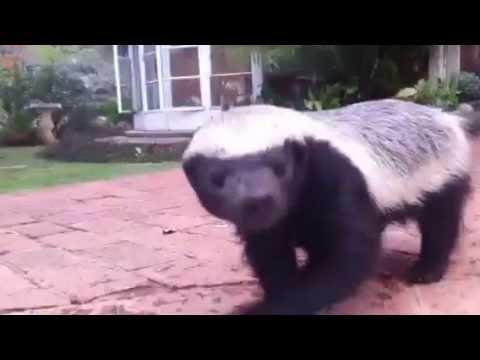Pet Honey Badger