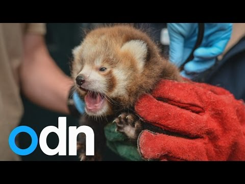 Two cute, rare red panda cubs have been born at Chester Zoo