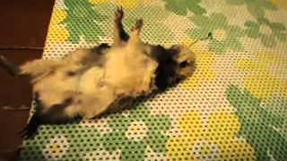 смерть морской свинки