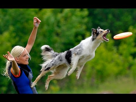 Best Trained & Disciplined Border Collie Dogs