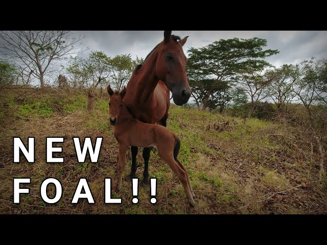 New Foal Born | Update on cows and premiere of our new foal