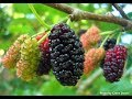 10 Amazing Health Benefits of Mulberries | Mulberry benefits and side effects