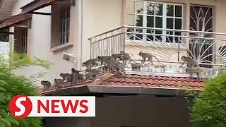 Beware of monkey business: Large troop spotted in Penang, but control order not needed yet