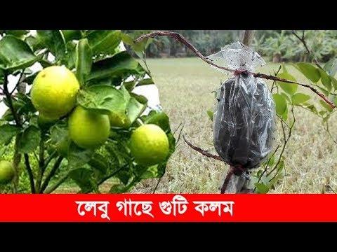 Grafting Lemon Trees | Lemon Tree Air Layering | লেবু গাছে গুটি কলম করার পদ্ধতি