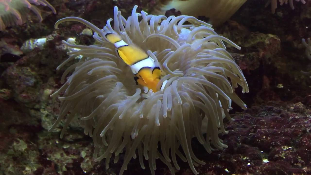 Clown Fish Acting Dead In An Sea Anemone