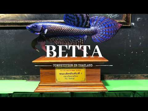 Betta Competition In Thailand 2019